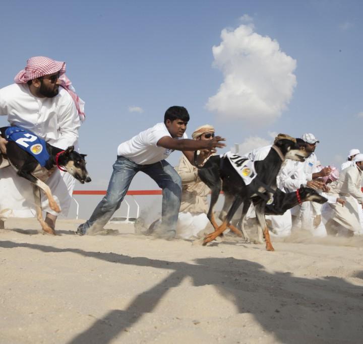 Saluki Rennen in Abu Dhabi