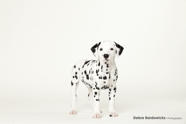 puppy_dalmatian_debra_bardowicks