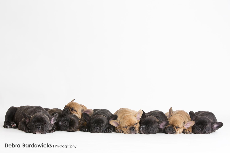 puppy_frenchbullies_debra_bardowicks